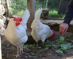 Coliarte | Weiße oder braune Eier